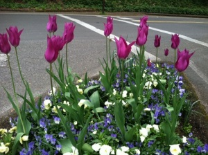 While the City is known for its hanging baskets that line city streets from spring through summer with color, planted meridians along city streets also infuse the town with colors that change with the seasons. Here is a typical spring display.