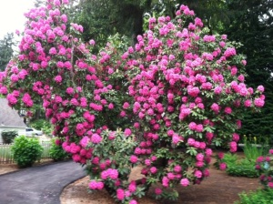 This well established rhododendron in my front yard puts on a fabulous show for about three weeks every spring.