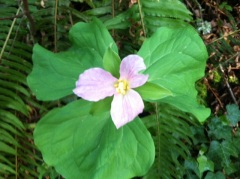 This Western Trillium is on its way out, turning from white at its first bloom to this shade and deeper of purple. Trilliums arrive in late March and stick around into May. Much lore surrounds this flower including the warning that if you pick it, rain will follow. In the Pacific Northwest, chances are in the spring, the rain is going to come whether you pick the flower or not.