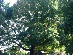 This Sugar Maple at the intersection of Third and C Avenue was dedicated as a Heritage Tree in 1998.