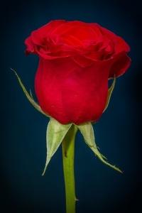 rose-266785_640